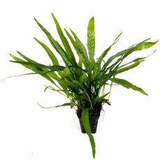 Microsorum minor (thin leaves) - Schmalblättriger Javafarn