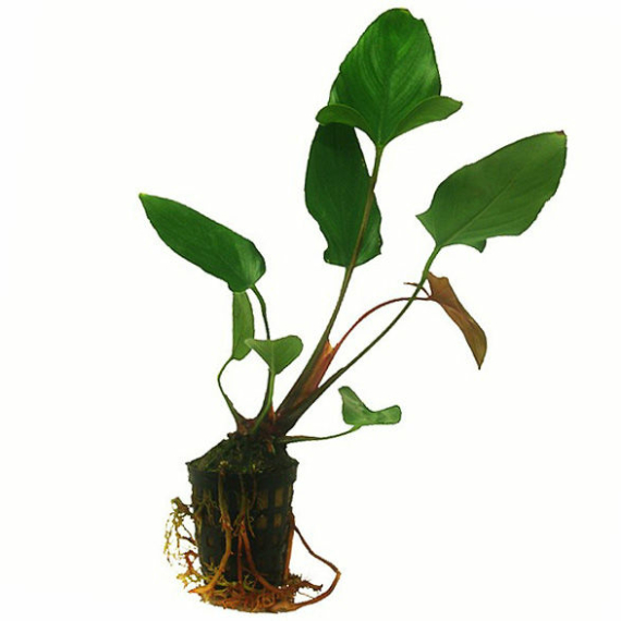 Anubias hastifolia, spießblättriges Speerblatt