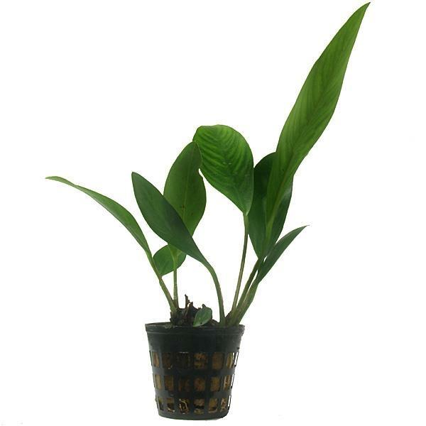 anubias congensis bewurzelte pflanze im topf. Black Bedroom Furniture Sets. Home Design Ideas