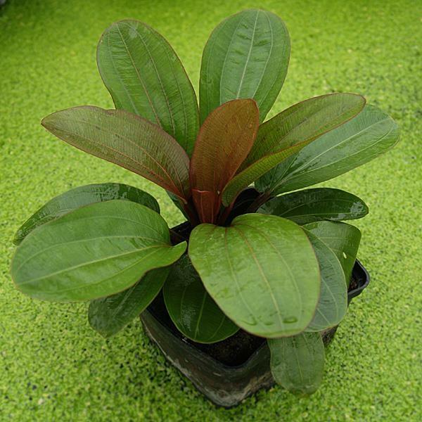 echinodorus osiris rote amazonaspflanze. Black Bedroom Furniture Sets. Home Design Ideas