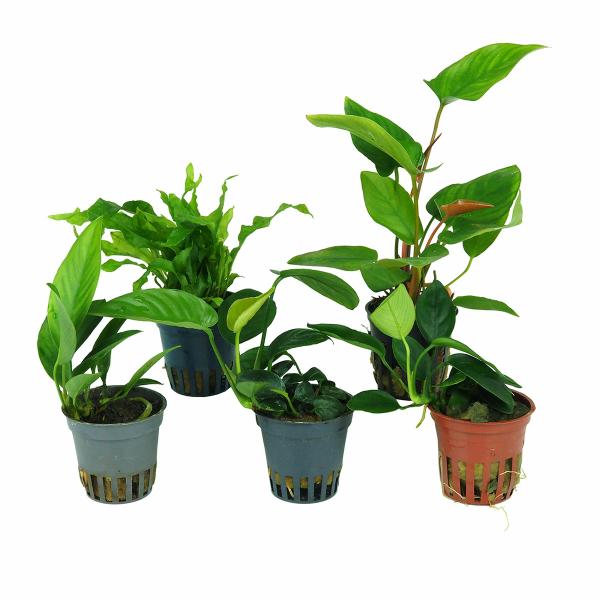 Welchen Dünger Für Aquarienpflanzen : 5 robuste wasserpflanzen f r buntbarschaquarien ~ Michelbontemps.com Haus und Dekorationen