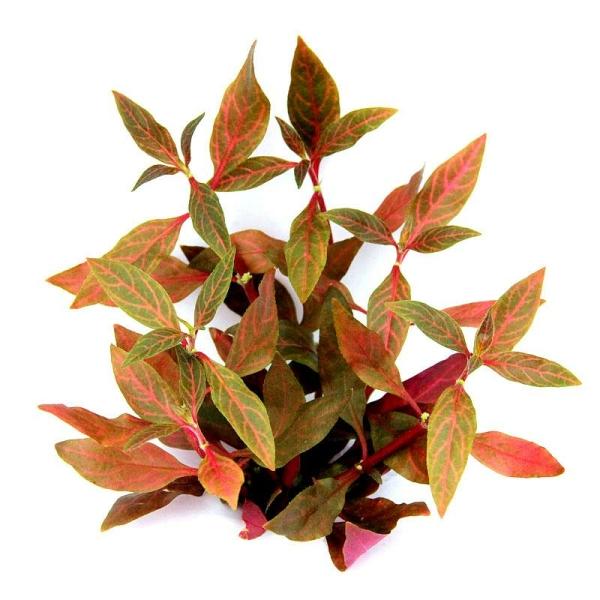 alternanthera reineckii red ruby von dennerle im topf. Black Bedroom Furniture Sets. Home Design Ideas