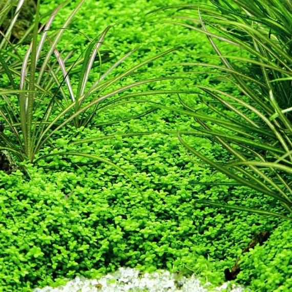 kubanisches perlenkraut ohne algen und schnecken. Black Bedroom Furniture Sets. Home Design Ideas