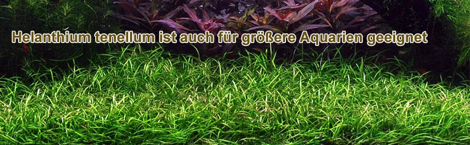 Helanthium tenellum / Echinodorus tenellus