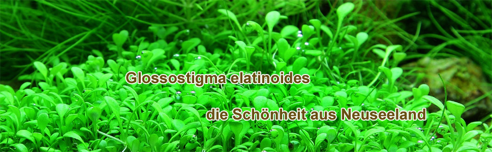 Vordergrundpflanzen für Ihr Aquarium