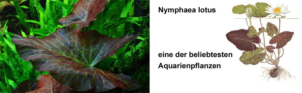 Die rote Seerose hatte wohl jeder Aquarianer