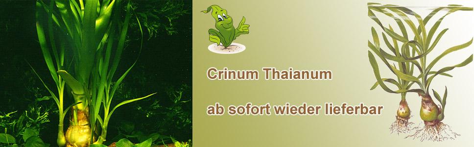 Thailändische Wasserlilie